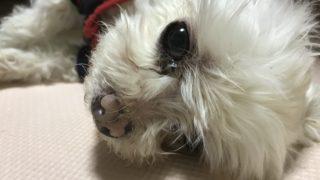 横たわっている犬